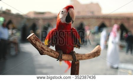 Big Ara Parrot Close up in Exotic Bird Market. Bright Red Gracious Tropical Macaw Genus Walking on Pole. Inquisitive Pet with Beautiful Plumage on Branch Shallow Focus.