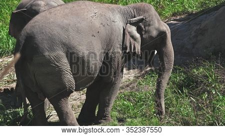 Group of Elephant in Jungle Sanctuary Thailand. Enormous Animal Chewing Branch. Chiang Mai Province Conservation. Huge Herbivore Asian Mammal Eating