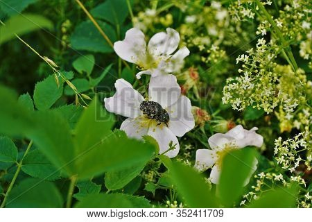 Two White Spotted Rose Beetles Copulating On A Rosa Canina Blossom