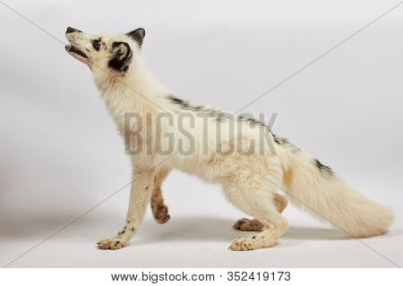 White tamed fox isolated on white background