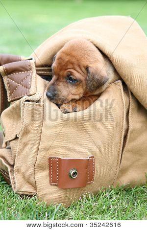 The Miniature Pinscher puppy 1,5 months old