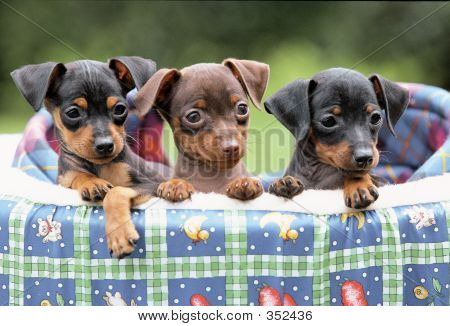 Three Doberman Pinscher Puppies