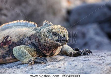 Close View Of Marine Iguana (amblyrhynchus Cristatus) On Espanola Island, Galapagos National Park, E