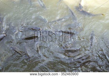 Overfishing In A Carp Fish Pond, Fish Farming