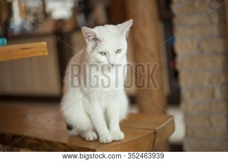 White Cat Sits Indoor In The House