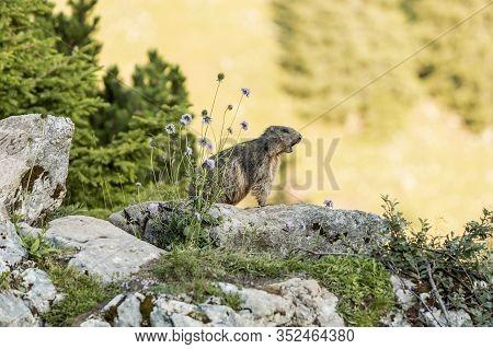 Alpine Marmot Between Flowers, In Bavaria, Germany