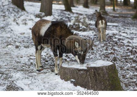 Male Moufflon In A Park In Wintertime