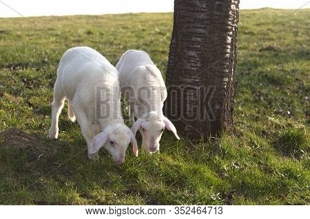 Two Young Lambs On A Meadow In Springtime