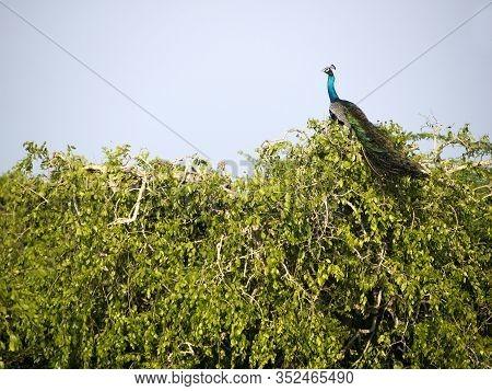 Peacock Sitting On A Tree At The Bundala National Park In Sri Lanka