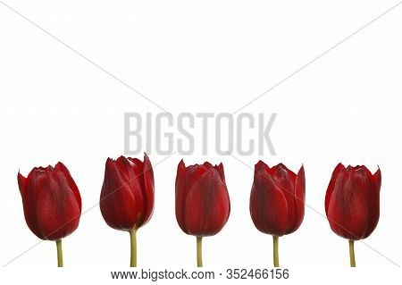 Red Tulips In A Row Isolated In Front Of White Background