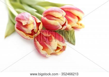 Tulip In Yellow And Red With White Background