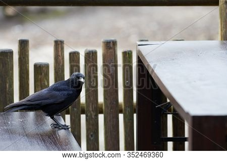 A Carrion Crow (corvus Corone) Staring At The Camera, Standing On The Bench And Looking For Food At