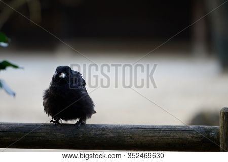 A Cute Young Carrion Crow (corvus Corone) Ruffles While Staring At The Camera On A Wooden Balcony Ra