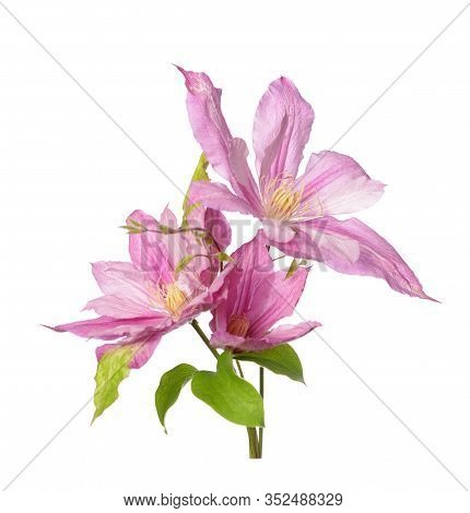 Beautiful Blooming Clematis Pink Isolate On White