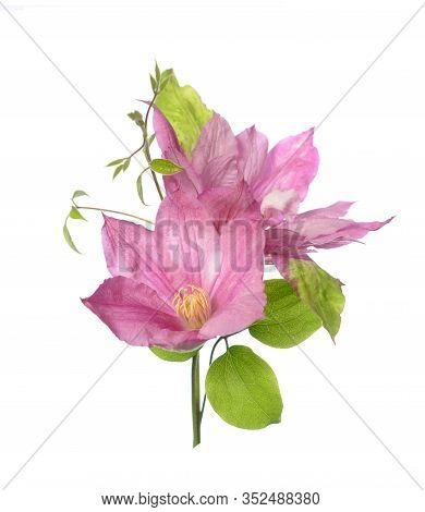Blooming Clematis Pink Isolate On White Background