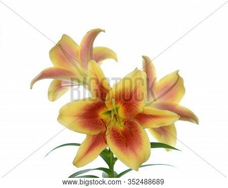 A Pair Of Yellow Lily Flowers Isolated On White