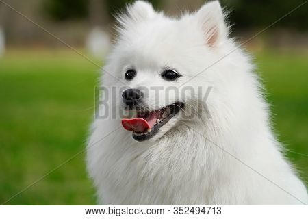 Portrait Of Cute Fluffy White Japanese Spitz Dog Sitting On The Spring Meadow. Happy Smiling Purebre
