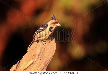 The Crested Barbet (trachyphonus Vaillantii) Sitting On The Branch With Golden Yellow Background. Ye
