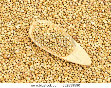 Spice Coriander (coriandrum Sativum) In Wooden Spoon On Coriander Background. Indian Cuisine, Ayurve