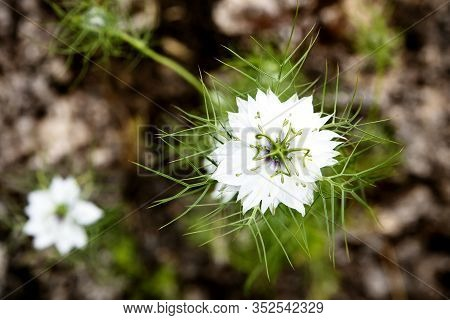 Wallpaper Or Background Of White Nigella Damascena Plant And Blossoms, Topview