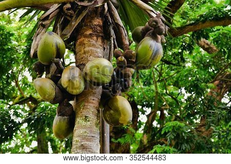 The Largest Coconuts In The World - Coco De Mer Lodoicea Maldivica, Mahe Island, Seychelles.