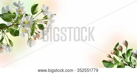 Spring Border With Apple Tree Blossom And White Space For Text. Springtime Background, Pink-white Ge