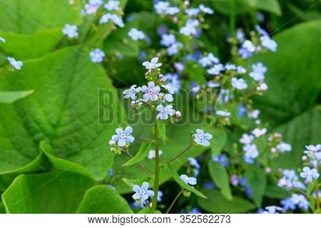 Myosotis Closeup On Blurred Background. Many Blue Alpine Flowers On A Green Meadow In Spring. Forget
