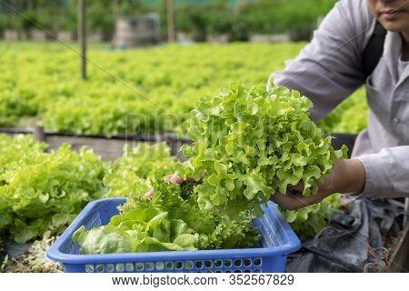 Agriculturist Cutting Fresh Organic Green Vegetable Plant On Garden.