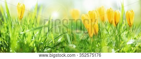 Yellow Spring Crocuses In A Meadow. Flowers In Damp Grass With Bright Bokeh. Close-up With Selective