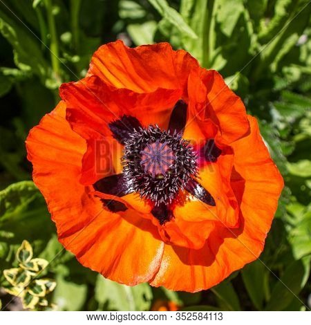 Red Blooming Poppies. Flowers In The Garden. Macro Photo