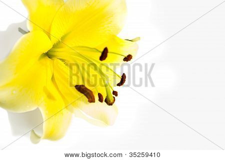 Yellow Lily Flower On A White Background