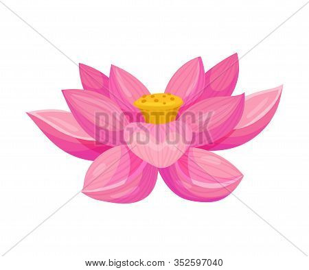 Lotus Flower With Large Showy Petals Isolated On White Background Vector Illustration