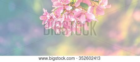 Spring Flowers, Floral Background. Blossom Tree Over Gentle Soft Blue And Pink Background. Sunbeams