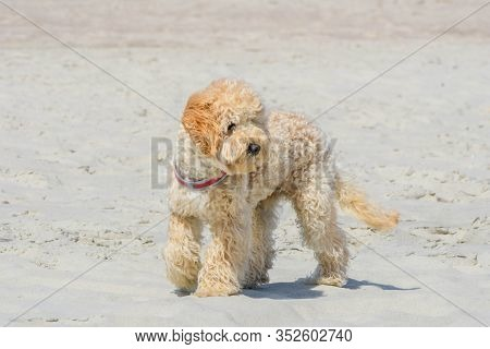 Cute Goldendoodle Dog Puppy On Sand Beach Near Sea. Beige Colored Doggy On Similar Color Beige Sandy