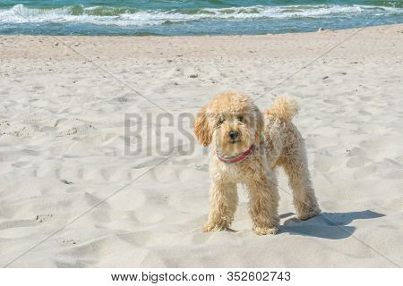 Funny Goldendoodle Dog Looking Straight At Camera On Sandy Beach Near Wavy Sea. Beige Colored Doggy