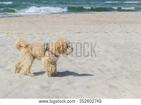 Goldendoodle Dog In Profile On Sandy Beach Near Wavy Sea. Beige Colored Doggy On Similar Color Beige