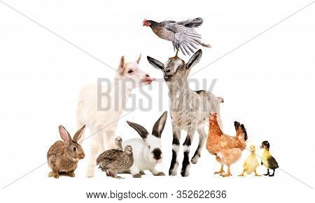 Funny Goats And Other Farm Animals Isolated On White Background