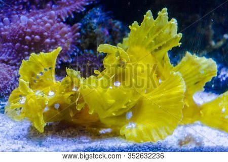 Twospot Turkeyfish Or Ocellated Lionfish In The Water