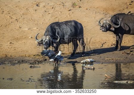 African Buffalo Facing An African Fish Eagle With Prey In Kruger National Park, South Africa ; Speci