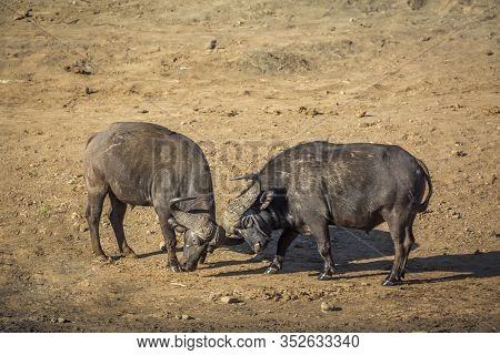 Two African Buffalo Bulls Dueling In Riverbank In Kruger National Park, South Africa ; Specie Syncer
