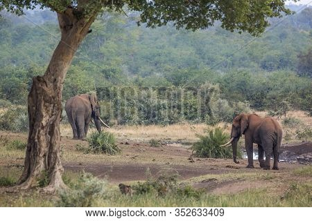 Two African Bush Elephants With Long Tusk In Kruger National Park, South Africa ; Specie Loxodonta A