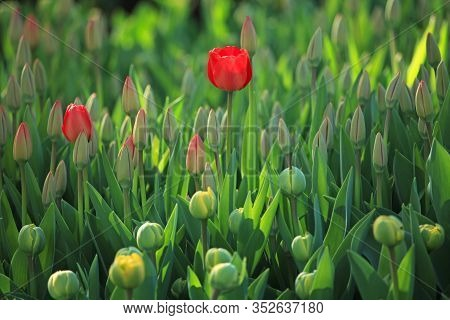 Colorful Red Tulips (tulipa L) In Blossom Between The Grass In City Garden. Springtime And Warm Land