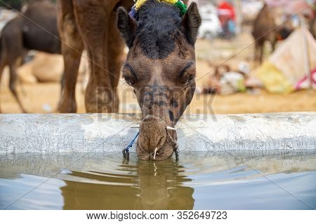 Camels at the Pushkar Fair, also called the Pushkar Camel Fair or locally as Kartik Mela is an annual multi-day livestock fair and cultural held in the town of Pushkar Rajasthan, India.