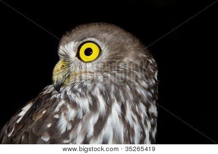 Barking Owl - Australian Wildlife