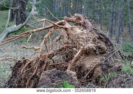 Roots Of A Hurricane-felled Tree. The Roots Of A Hurricane-felled Tree. Side View Of Torn And Broken