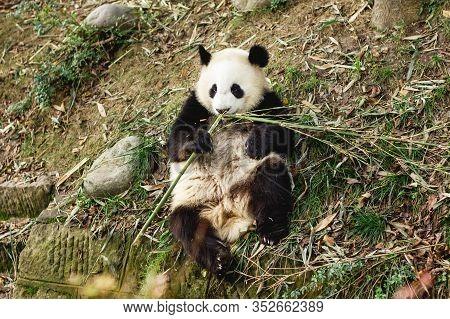 Giant Panda Bear. Happy Animal Eating. Jungle Wildlife Background. Big Funny Panda Having Dinner In