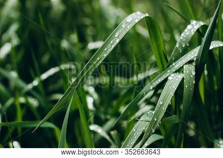 Background Dew Drops On Bright Green Grass After Rain. Wet Grass Closeup With Water Drops After Rain