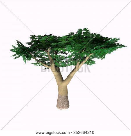 Umbrella Acacia 3d Illustration - The Umbrella Acacia Thorn Grows As A Tree, Shrub Or Bush In Africa