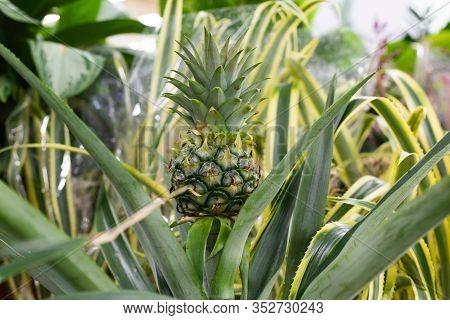 Green Little Pineapple Fruit. Natural Ananas Comosus Pineapple Fruiting In Nature. One Fruit Of An E