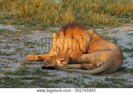 The Southern Lion (panthera Leo Melanochaita) Also To As The East-southern African Lion Or Eastern-s